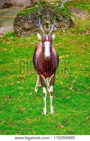 Male Bontebok Antelope