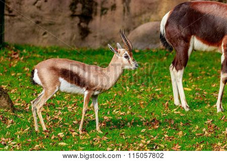 Male Speke Gazelle