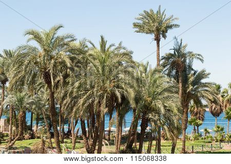 Palm Tree In Aqaba Coast