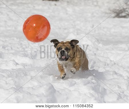 Bulldog playing with a ball in the snow