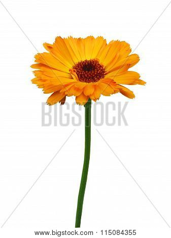 Calendula, Isolated On  White Background