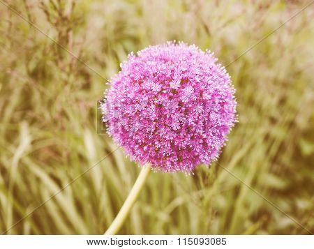 Retro Looking Purple Allium Flower