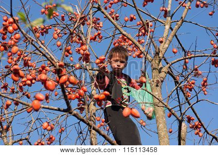 H'mong ethnic boys in traditional custome climb on the kaki tree
