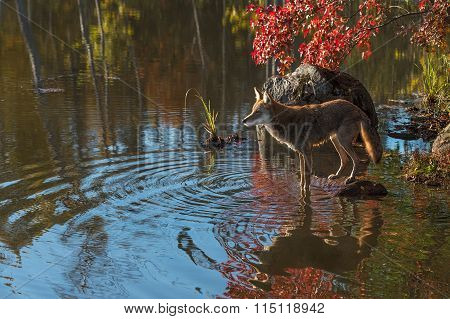 Coyote (canis Latrans) On Rock In Pond