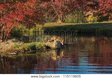 Coyote (canis Latrans) Gazes Into Water