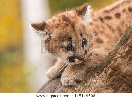 Female Cougar Kitten (puma Concolor) Afraid On Branch