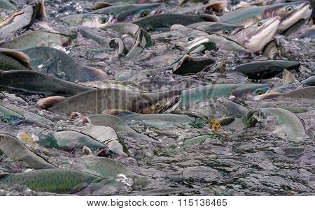 Pink salmon crowded in Alaska