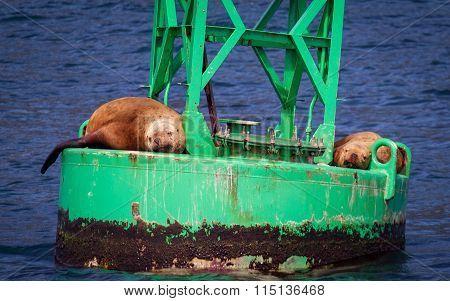 Content Sea Lions
