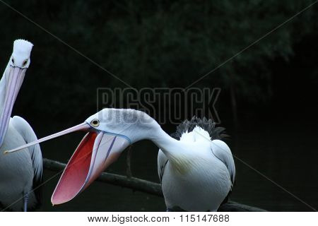 Screeching Pelican