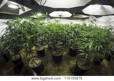 Indoor Marijuana Grow Room with Plants in Soil Under Lights
