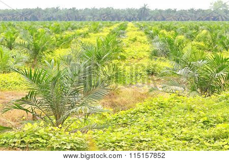 Replanting Oil Palm Tree At The Estate Using Block Method