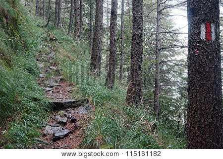 Trail In Pine Tree Forest