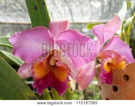 Thai Orchid Flower
