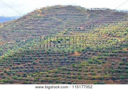 Soft Focus Of View From Far Replanting Oil Palm Tree At The Hill Side