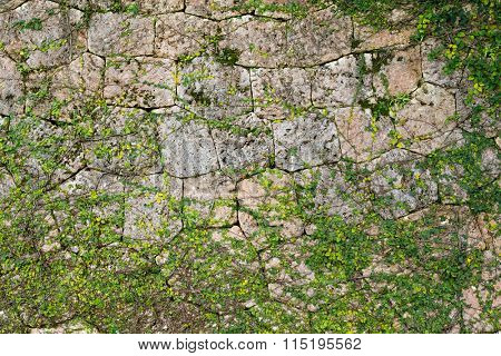 Green Creeper Plant growing on a stone wall