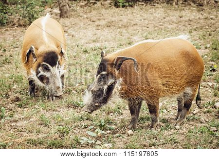 Pair Of Red River Hog (potamochoerus Porcus)