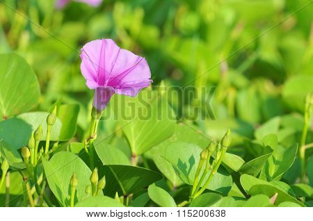 Ipomoea pes-caprae known as bayhops beach morning glory or goat's foot is a pantropical creeping vine in family of Convolvulaceae. It grows on the upper parts of beaches and endures salted air poster