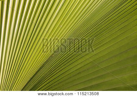 Closeup Of The Texture And Pattern Of The Palm Leaf 2