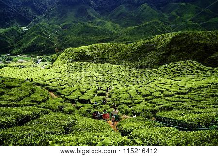 Green tea plantations Cameron Highlands in Malaysia