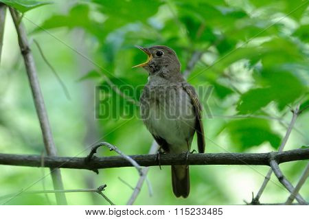 Singing Nightingale In Green Spring Forest