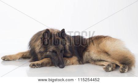 Dog, Belgian Shepherd Tervuren, Sleeping, Isolated