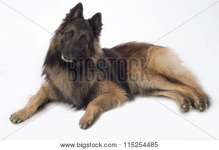 Dog, Belgian Shepherd Tervuren, Lying, Isolated