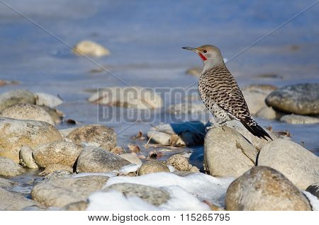 Northern Flicker Resting Beside The Snowy Winter River