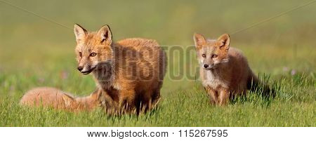 Baby Foxes Playing in Field