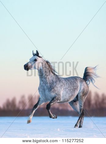Galloping grey Arabian stallion on winter snowfield at sunset