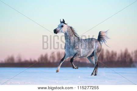 Galloping purebred Arabian stallion on winter snowfield at sunset
