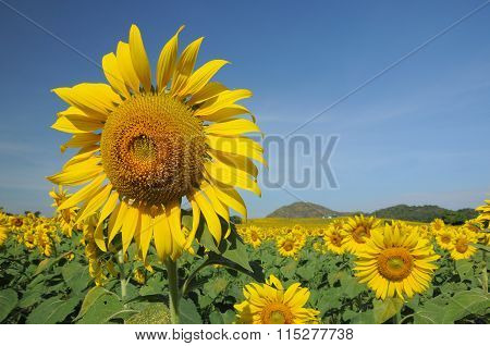 Close up of yellow sunflower in the field