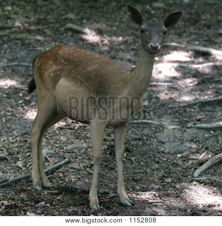 brown fallow female deer on natural background poster