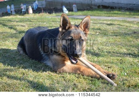 German Shepherd puppy playing with wooden stick in the grass