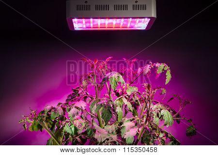 ripe tomato plant under LED grow light