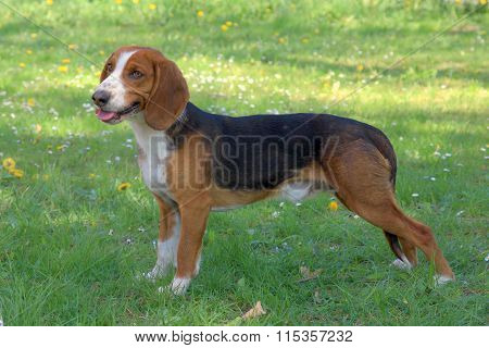 Typical Deutsche Bracke dog on a green grass lawn poster