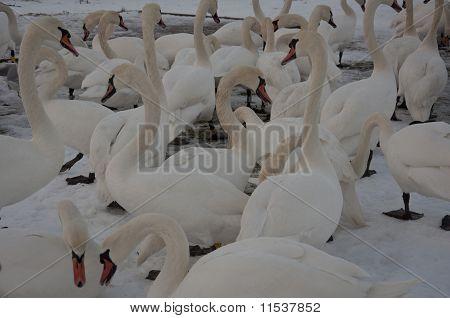 svaner, Danmark