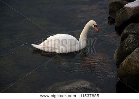 Svane, Danmarks nationalfugl