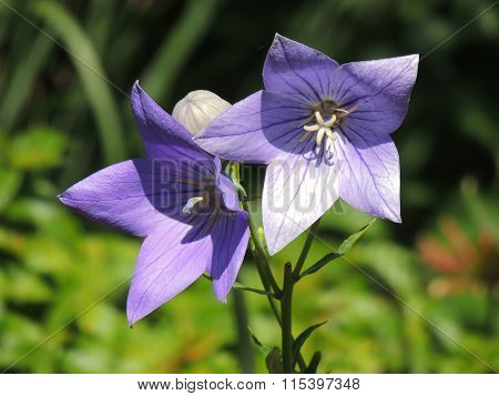 Lily Balloon Flowers