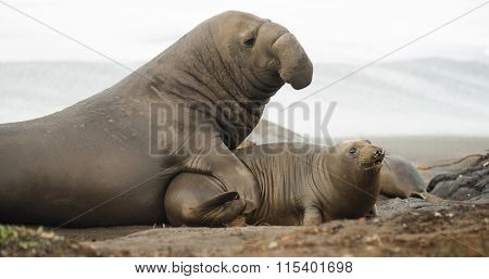 Large Elephant Seal Male Chooses Female During Mating Season
