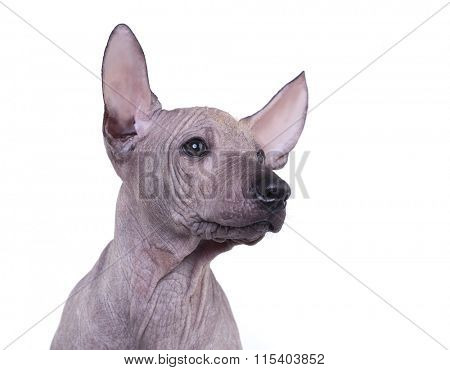 Mexican Hairless Dog, Xoloitzcuintli