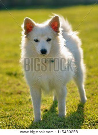 Spitz Dog In The Greensward