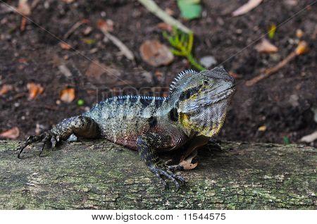Australian Eastern Water Dragon (Physignathus lesueurii lesueurii)