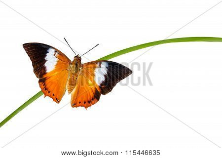 Tawny Rajah Butterfly On White