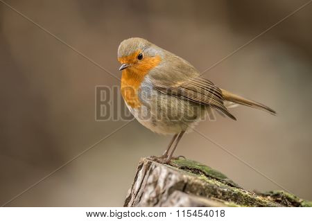 Robin redbreast Erithacus rubecula perched on a tree trunk