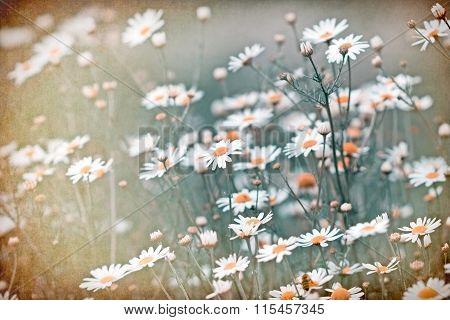Soft focus on daisy flowers