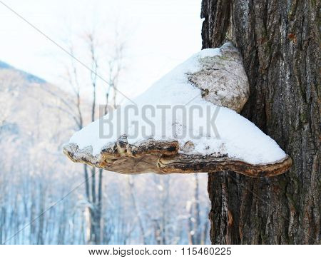 tinder fungus with snow