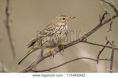 Meadow pipit Anthus pratensis perched on a twig