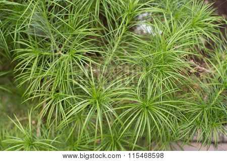 Plantains or fleawort Plantago arborescens green shrub with fine thin leaves. poster