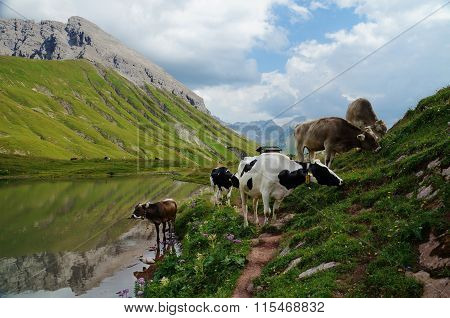 Small herd of cows with bells grazing in the Austrian Central Alps