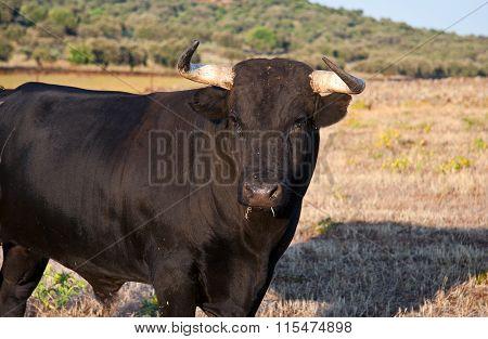 Specimen Of Spanish Free Range Fighting Bull Breed On Extensive Estates
